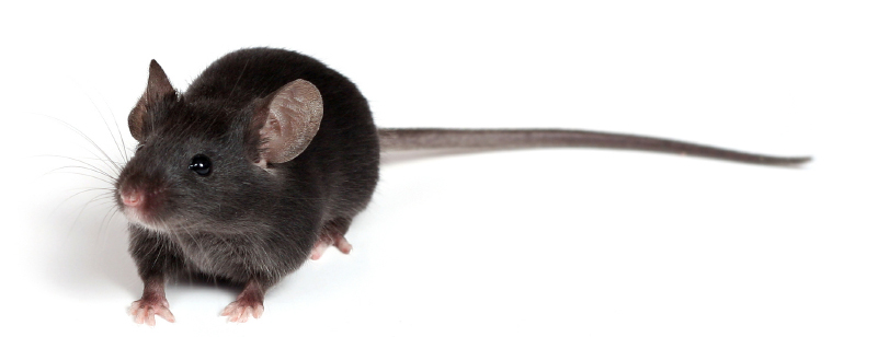 Prekallikrein Knockout Mouse Model - Molecular Innovations ...